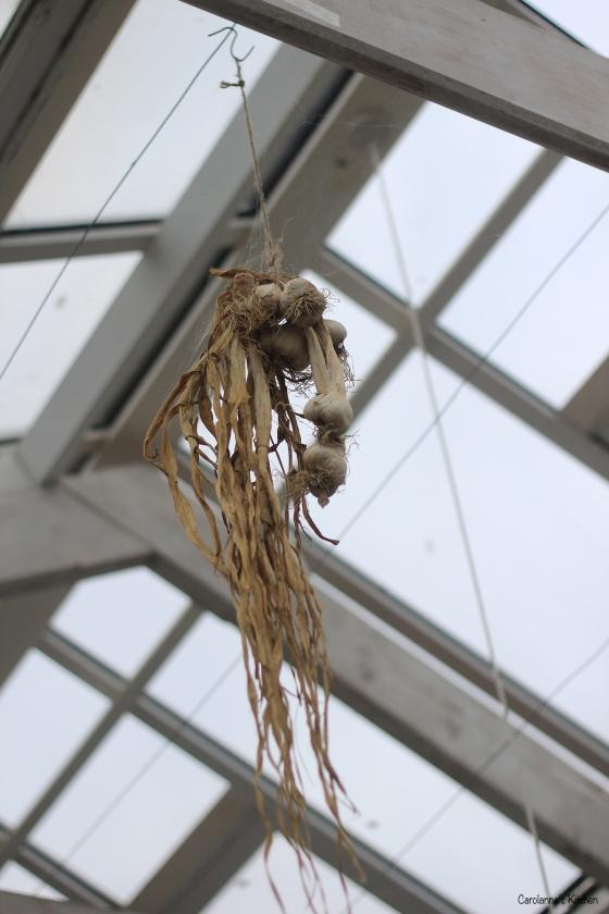 Hanging Garlic