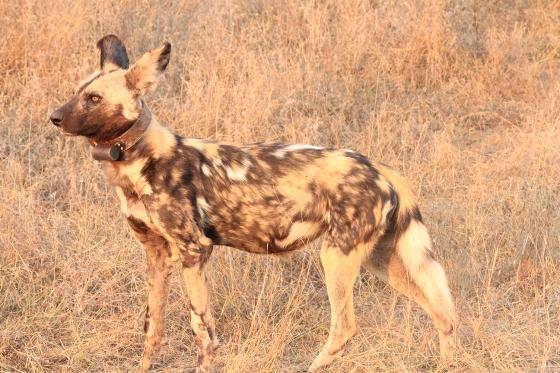 Wild Dog Standing
