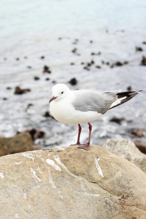 CT Bird at Hout Bay