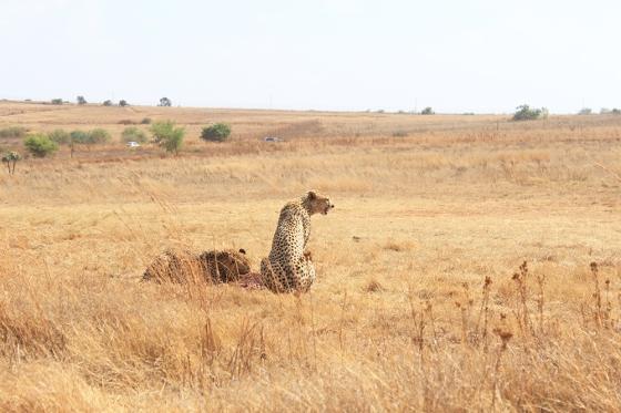 RLNR Cheetah