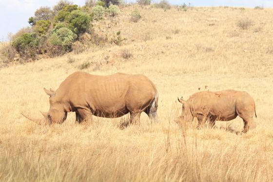 RLNR Rhino
