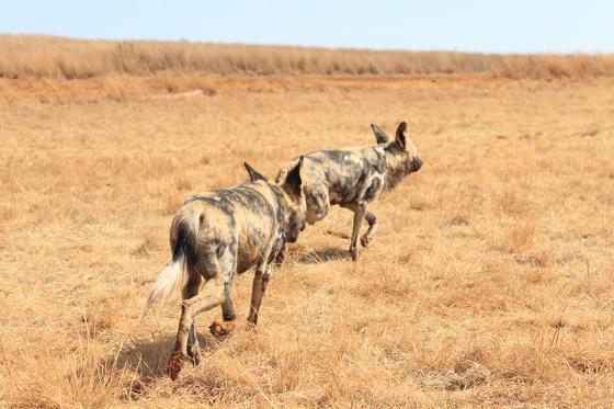 RLNR WIld Dogs