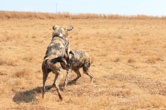 RLNR Wild Dogs1