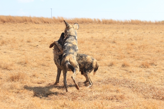 RLNR Wild Dogs2