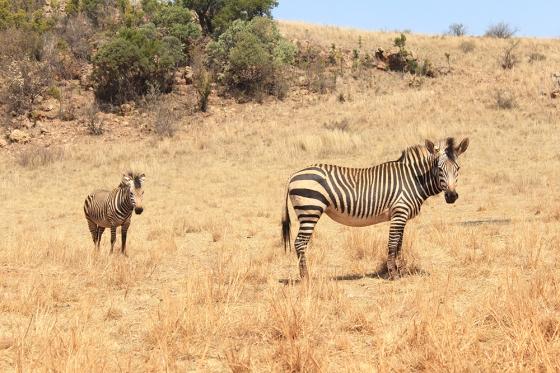 RLNR Zebras